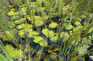 Lebensraum Moor mit stehendem Wasser mit Seerosen und Schilf