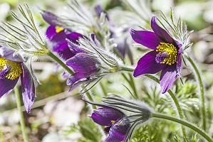 Fluschig behaarte lila Küchenschelle in lichtdurchflutetem grü