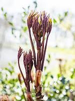 Sich auffaltende Blätter einer Strauchpfingstrose schmiegen sic