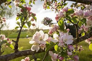 Zweige eines Apfelbaumes mit lichtdurchfluteten Apfelblüten