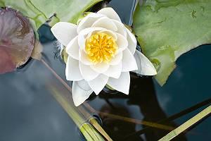 Weiße Seerosenblüte mit Seerosenblättern frontal von oben in