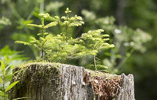 Kleine Bäumchen wachsen aus Baumstamm