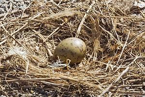 Möwen Nest mit einem Ei