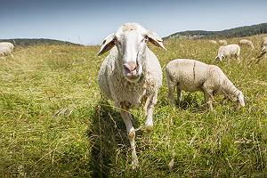 Schafe, die auf einer Weide grasen
