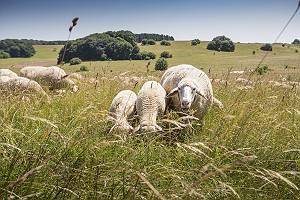 Schafe Schwäbische Alb grasen