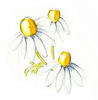 Zeichnung dreier Margeriten