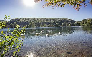 Schwanfamilie auf einem sonnigen klaren See
