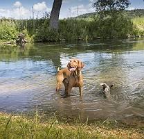 Magyar Vizsla im Fluß erwartungsvoll schauend