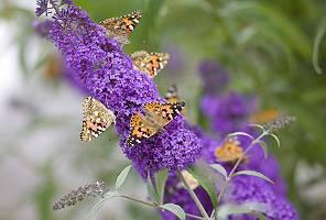 Schmetterlinge an Fliederblüte