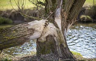 Biberfrass abgenagter Baum