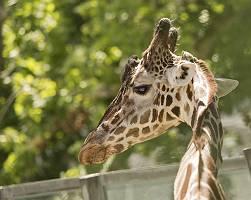 Nahaufnahme eines Giraffenkopfes