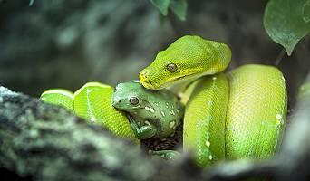 Python und Frosch auf einem Ast