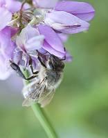Biene sammelt Nektar in flieder farbenen Blüte