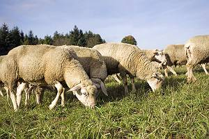Schafherde Gras fressend auf der Weide