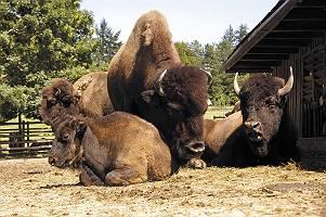 Riesige Bisons entspannen in der Sonne