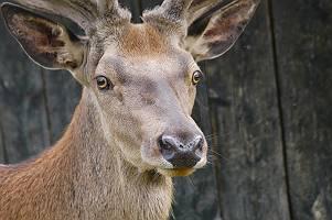 einheimischer selbstbewusster Hirsch mit wachem herausforderndem