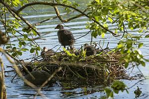 Blässhuhn Küken in ihrem Nest auf der Wasseroberfläche