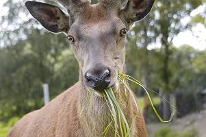 einheimischer Hirsch genießt seine frische Mahlzeit mit wachem