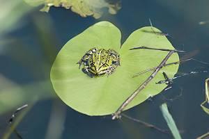 Frosch sitz auf Seerosenblatt
