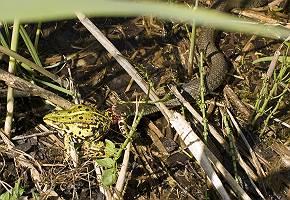Natter erbeutet Frosch im Unterholz