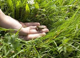 Person lässt Frosch im hohen Gras frei