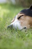 Entspannt schlafender Hund im Gras