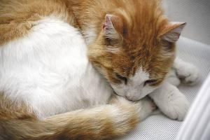 eingerollte schalfende Katze
