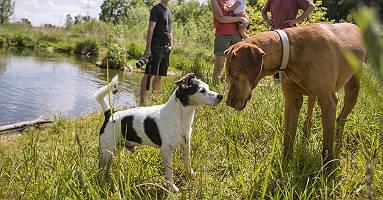 Begegnung  Jack Russell mit Jagdhund