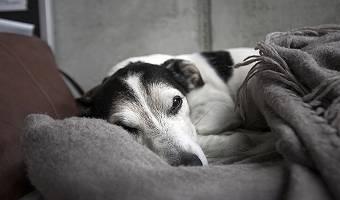 Dösender alter Hund in Decke gehüllt