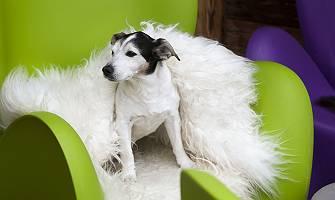 Majestätisch auf Fell thronender Hund in einem Sessel