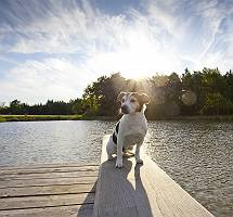 pictol-621-jack-russell-an-ufer