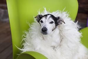 Alter Jack Russell eingehüllt in Schaffell auf einem grünen Se