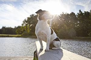 pictol-622-jack-russell-an-ufer