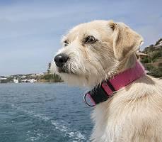 West Highland Terrier Mischling auf Reisen am Meer