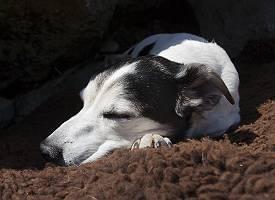 Schlafender Jack Russell auf Schaffell