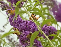 Schmetterlinge kleiner Fuchs auf Sommerflieder, durch Blätter f