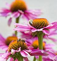 Bienen sammeln Nektar auf Echinaceablüten