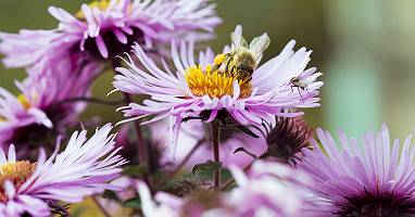Biene sammelt Nektar auf Aster