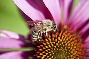 Biene sammelt Nektar auf Echinaceablüte