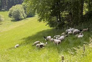 Grasende Schafe und Ziegen im Schatten eines Waldes