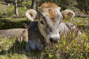 Kälbchen liegt gelanweilt bei seiner Mutter auf Alpenwiese