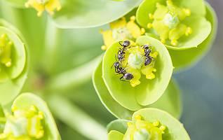 Ameisenreigen auf Zypressenwolfsmilch