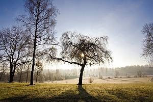 Baum im Gegenlicht am nebligen frühen Morgen