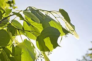 Lindenzweig mit Blüten und Blättern im Gegenlicht
