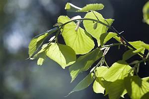 frische Lindenblätter im Gegenlicht