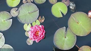 Pinkfarbene Seerose zwischen ihren Blättern