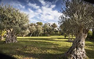 Olivenbaumwiese